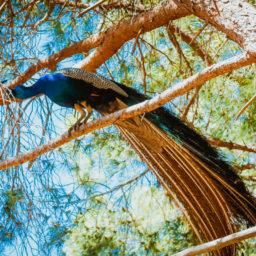 Filerimos peacock